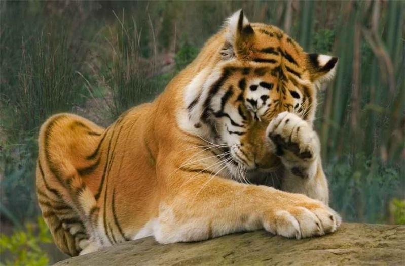 dormir avec les tigres dormir avec les tigres et les loups tigre blanc au zoo de la fl che on. Black Bedroom Furniture Sets. Home Design Ideas