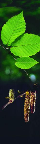 Photo Bouleau jaune (Betula alleghaniensis)