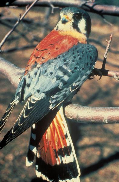 Photo crècerelle d'Amérique (Falco sparverius) American Kestrel