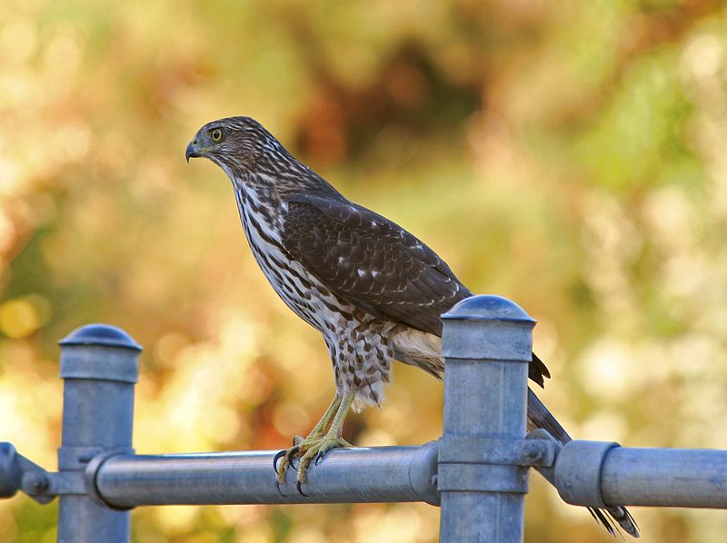 Photo Epervier de Cooper - Accipiter cooperii