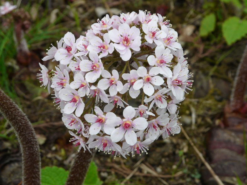 Photo Darmera peltata